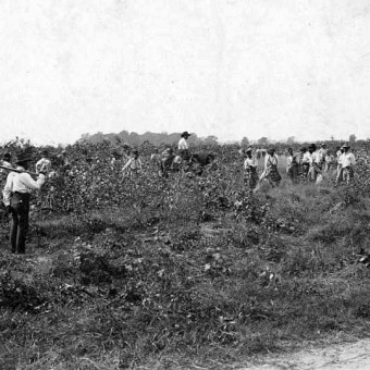 Black prisoners picking cotton Angola State Farm circa 1900